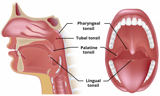 pharyngel tonsil in the sinus tubal tonsil at the ear's eustacian tube entry palatine tonsils on each side of the back of the mouth and lingual tonsil behind / below the tongue